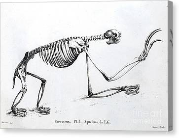 Sloth Skeleton, Cuvier, 1812 Canvas Print