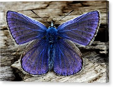 Small Blue Butterfly On A Piece Of Wood In Ireland Canvas Print by Pierre Leclerc Photography