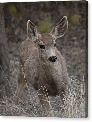 Small Fawn In Tombstone Canvas Print by Colleen Cornelius