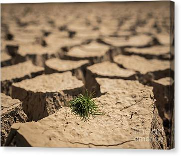 Canvas Print featuring the photograph Small Grass Growth On Dried And Cracked Soil In Arid Season. by Tosporn Preede