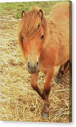 Small Horse Large Beauty Canvas Print by Karol Livote
