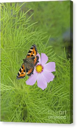 Small Tortoiseshell  Canvas Print by Tim Gainey