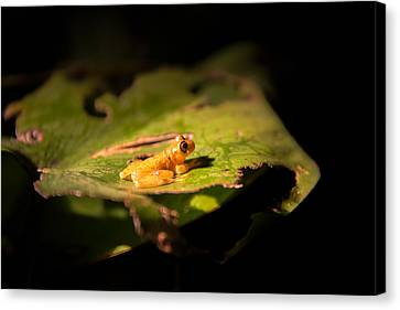 Small Yellow Frog Canvas Print