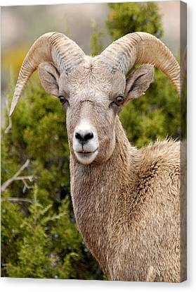 Bighorn Canyon National Recreation Area Canvas Print - Smile For The Camera by Larry Ricker