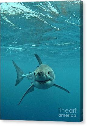 Carcharadon Carcharias Canvas Print - Smiley Shark by Crystal Beckmann