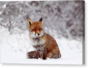 Smiling Fox In A Snow Storm Canvas Print