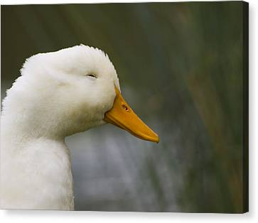 Smiling Pekin Duck Canvas Print