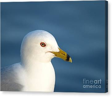 Smiling Seagull Canvas Print