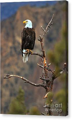 Smith Rock Bald Eagle Canvas Print by Adam Jewell