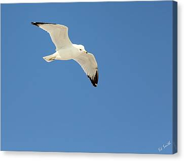 Flying Seagull Canvas Print - Smooth As Silk by Ed Smith