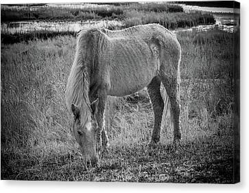 Wild Horse Canvas Print - Snacking by Kristopher Schoenleber