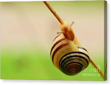 Snail  Canvas Print by Joe  Ng