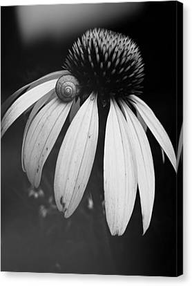 Canvas Print featuring the photograph Snail by Sharon Jones