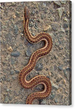 Snake Crossing Canvas Print by Shannon Gresham