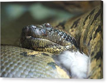 Canvas Print featuring the photograph Snake by Heidi Poulin