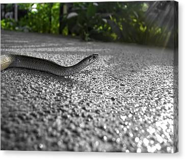 Snake In The Sun Canvas Print
