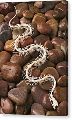 Snake Skeleton  Canvas Print by Garry Gay