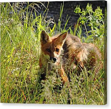 Bushy Tail Canvas Print - Sneaky Red Fox by Debbie Oppermann