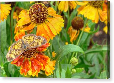 Sneezeweed Canvas Print by Shelley Neff