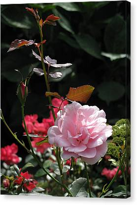 Sniff - Tea Rose Canvas Print