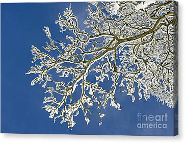 Snow Branch Canvas Print by Tim Gainey