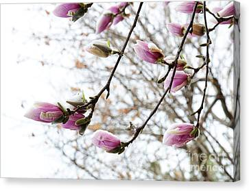 Snow Capped Magnolia Tree Blossoms 2 Canvas Print by Andee Design