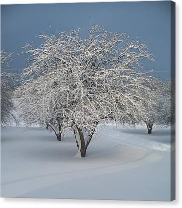 Snow-covered Apple Tree Canvas Print by Erica Carlson