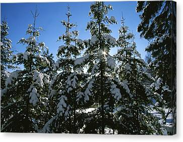 Snow-covered Pine Trees Canvas Print by Taylor S. Kennedy