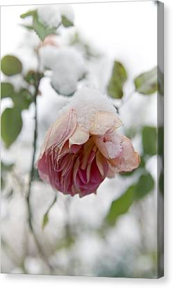 Snow-covered Rose Flower Canvas Print by Frank Tschakert