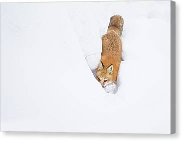 Canvas Print featuring the photograph Snow-diving Fox  by Mircea Costina Photography