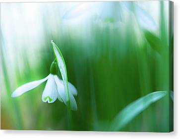 Snow Drops Early Spring White Wild Flower Canvas Print by Dirk Ercken