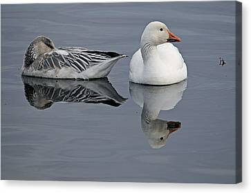 Snow Geese At Bosque Canvas Print