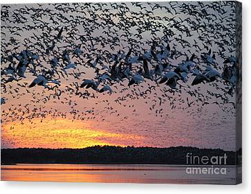 Snow Geese At Sunset Canvas Print by Ursula Lawrence