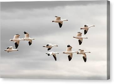 Snow Geese Flight Canvas Print by Britt Runyon