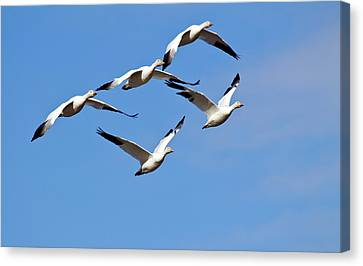 Canvas Print featuring the photograph Snow Geese Flormation by Elvira Butler