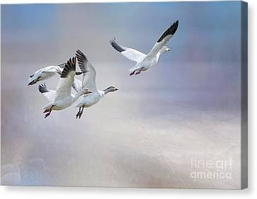 Snow Geese In Flight Canvas Print by Bonnie Barry
