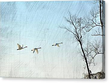 Snow Geese In Flight Canvas Print by Marty Koch