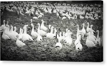 Snow Geese Canvas Print by Lisa Bell