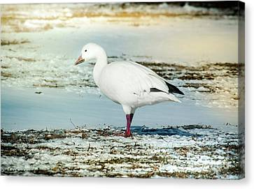 Snow Goose - Frozen Field Canvas Print by Robert Frederick