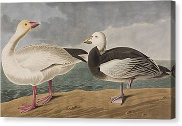 Snow Goose Canvas Print by John James Audubon
