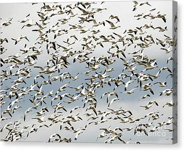 Canvas Print featuring the photograph Snow Goose Storm by Mike Dawson
