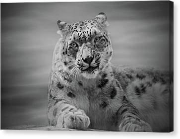 Canvas Print featuring the photograph Snow Leopard  Bw by Sandy Keeton