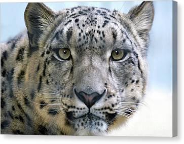 Snow Leopard Canvas Print by Dan Holm