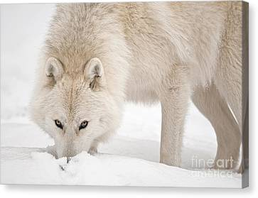 Wolf Pics Canvas Print - Snow Nose by Michael Cummings