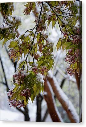 snow on the Cherry blossoms Canvas Print by Chris Flees