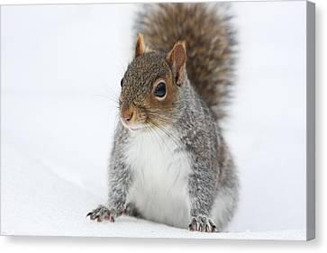 Snow Squirrel Canvas Print by Karol Livote