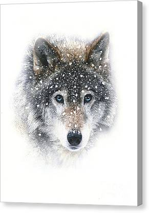 Snow Wolf Canvas Print by Robert Foster
