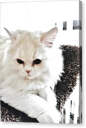 Snowball Is 92 Year Old Widows Cat Canvas Print by Marsha Heiken