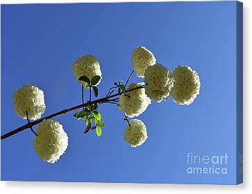 Canvas Print featuring the photograph Snowballs On A Stick by Skip Willits