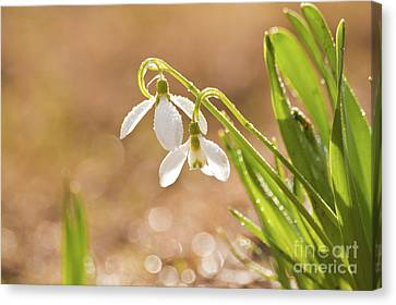 Snowbell With Dew Drops Canvas Print by Christine Amstutz